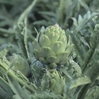 How Long Do You Boil Baby Artichokes?