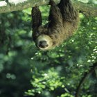 El hábitat natural de los perezosos