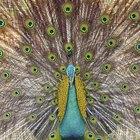 Cómo pintar un pavo real