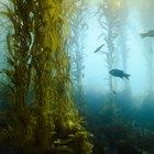 ¿Cuáles son los beneficios de salud de las algas para la presión arterial alta y el colesterol?