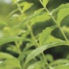 Nutrientes de las hojas de menta