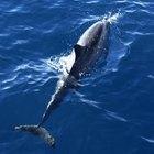 ¿Cómo obtienen su alimento los delfines rayados?