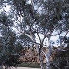 ¿Cuáles son los beneficios de las hojas de eucalipto?
