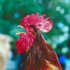 Hábitat de un gallo