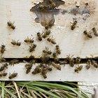 ¿Por qué zumban las abejas?