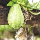 How to Grill Chayote Squash
