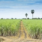Nutrition in Sugar Cane