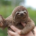 The Species of Sloth