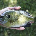 How to Cook Bluegill Fish