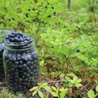 What Are the Health Benefits of the Anthocyanins in Blueberries?