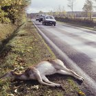 When You Hit a Deer, Is It Covered on Insurance?