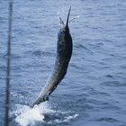 How to Cook Sailfish
