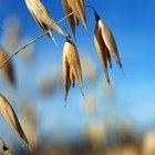 ¿Los granos de avena son nutritivos?