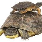 Cómo saber la edad de las tortugas