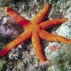 Datos acerca de la datación de fósiles de estrellas de mar