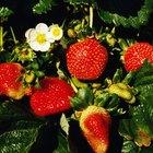Relación del consumo de fresas con la gota