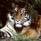 Datos del tigre de Bengala para los niños
