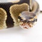 Información sobre la serpiente conocida como pitón bola