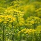 ¿Para qué son buenas las semillas de hinojo?