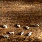 El valor nutricional de las semillas de girasol crudas