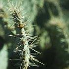 Cómo sacar una espina de cactus de tu piel