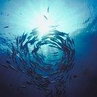 La relación EPA/DHA en el aceite de pescado