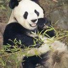 ¿Cómo se comunican los pandas?