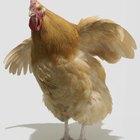 Desventajas de los pollos alimentados con maíz