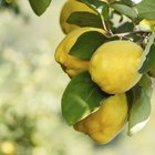 Types of Quince Trees