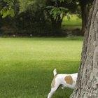 Riesgos a la salud humana relacionadas con la orina canina