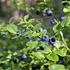 Places to Pick Wild Blueberries in Washington
