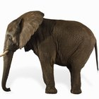 ¿Qué plantas comen los elefantes africanos?