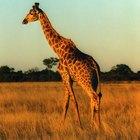Descripción del ciclo de vida de una jirafa