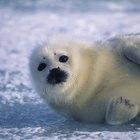 Hábitat de las focas de Groenlandia