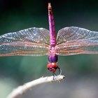 Por cúantas etapas de metamorfosis pasan los saltamontes y las libélulas