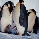 ¿Qué tipos de pingüinos aparecen en Happy Feet?