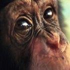 ¿Cuánto vive un chimpancé?
