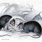 ¿Cómo se reproducen las ratas?