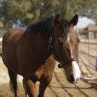 Hábitos de apareamiento del caballo salvaje