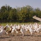 Cómo iniciar una granja de pollo orgánico