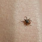 Dieta y tratamiento para la enfermedad de Lyme