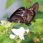 Las partes del cuerpo de una mariposa