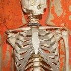 Componentes del esqueleto axial