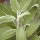 How to Use Sage to Combat Hair Loss