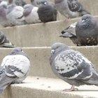 Cómo escoger comida apropiada para palomas mensajeras