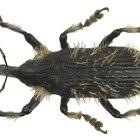 ¿Cuáles son las diferencias entre los escarabajos y los gorgojos?