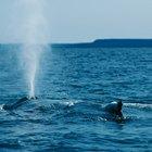 ¿Cómo respiran las ballenas?