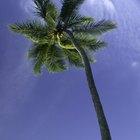 Cómo hacer palmeras de jungla fácilmente