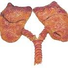 Proyectos de ciencias: el tabaquismo y sus efectos en los pulmones
