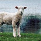 Cómo peinar el vellón de lana